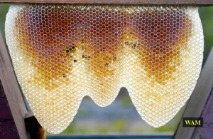 a growing comb with new honey