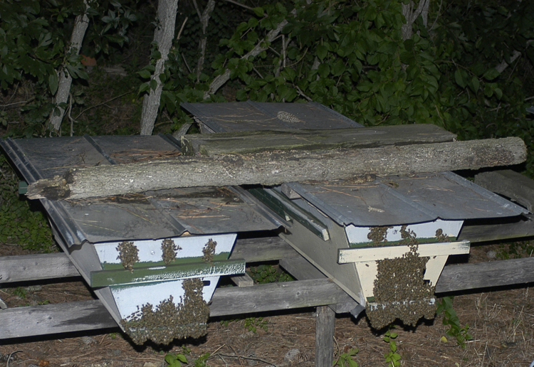 top-bar hives at night with bees clustered on the fronts