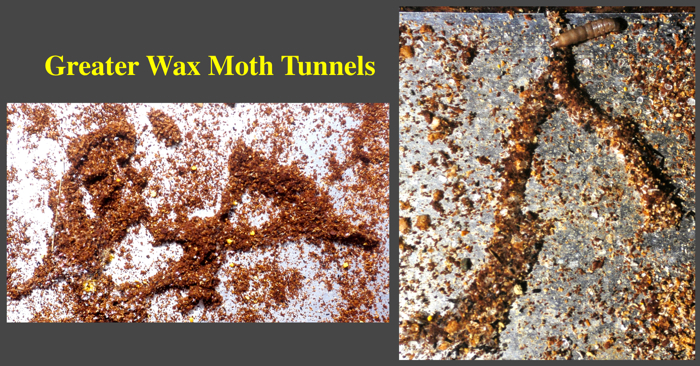 wax moth tunnels on a stick board