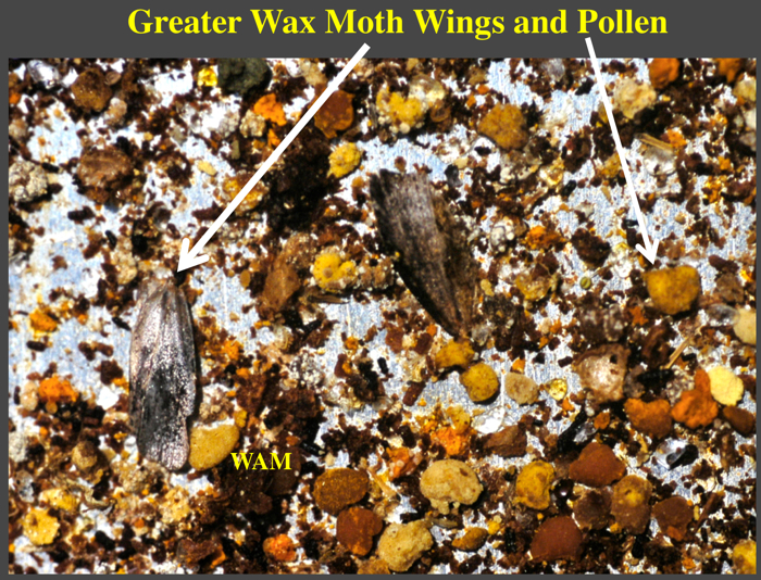 wax moth wings in the trash on a sticky board