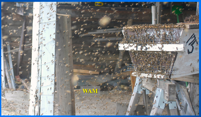 a swarm coming to a bait hive under the shed