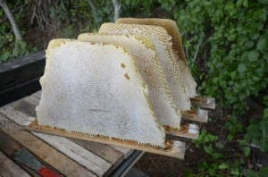 Honey Harvest of combs