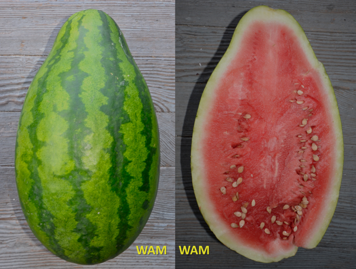 water melon with poor pollination
