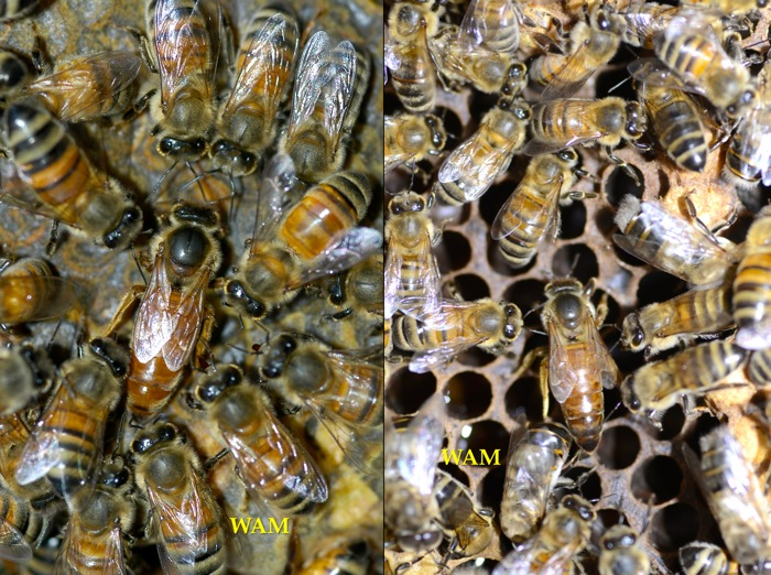 I Use Standard Accepted Queen Rearing Practices, Just In Top Bar Hive  Equipment. My Book Has A Chapter Devoted To Queen Production With Top Bar  Hives.