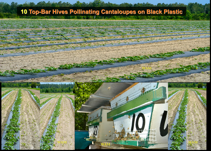 10 top bar hive colonies pollinating cantaloupes grown on black plastic sheets