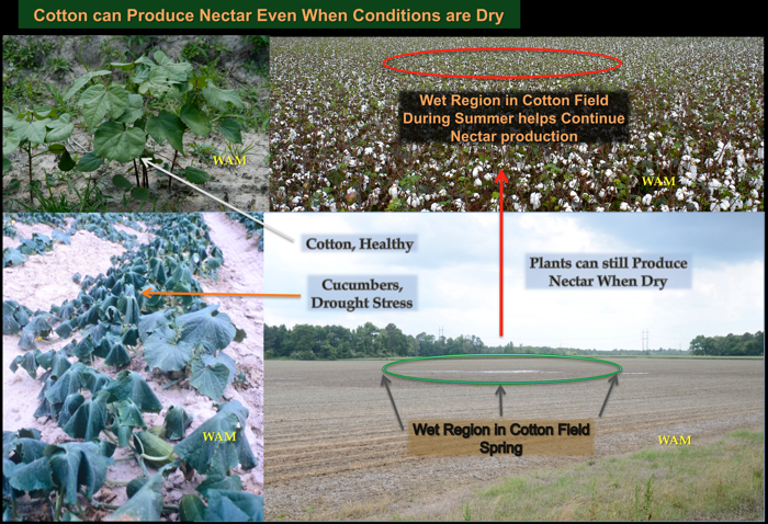 cotton can produce nectar in dry conditions from wet spots in the fields