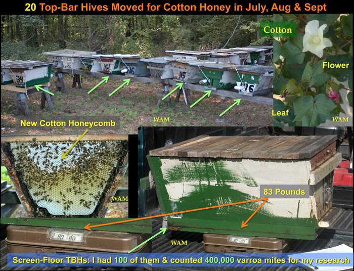 more cotton nectar making the hive gain weight. measured on the scale