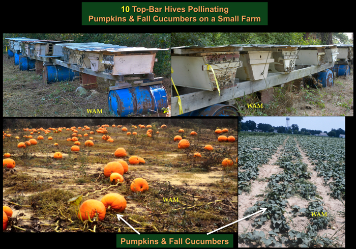 top bar hive colonies pollinating fall cucumbers and pumpkins