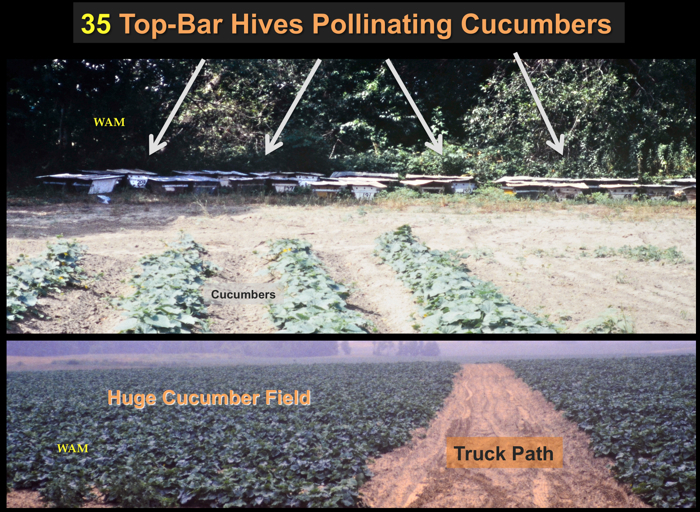 top bar hive colonies pollinating cucumbers