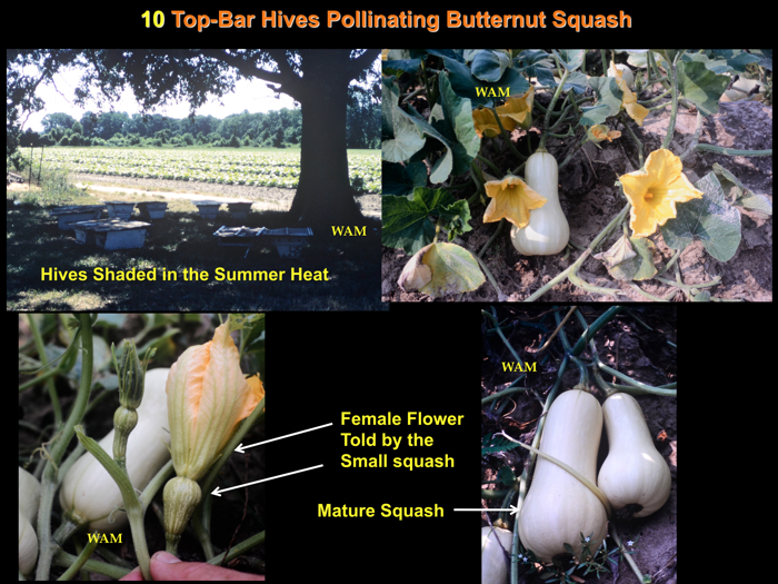 10 top bar hive colonies pollinating squash