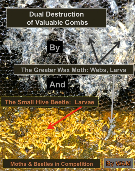 small hive beetle larvae on floor of the hive
