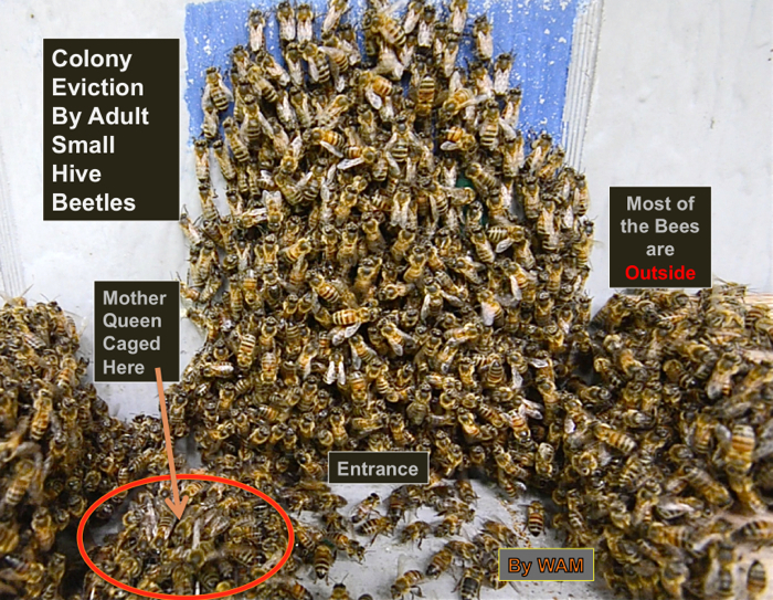 Observation hive colony evicted by small hive beetles