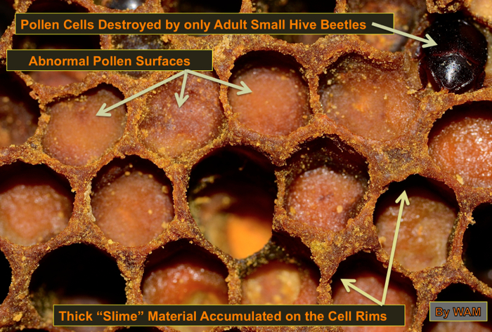 pollen cells infested by adult small hive beetles