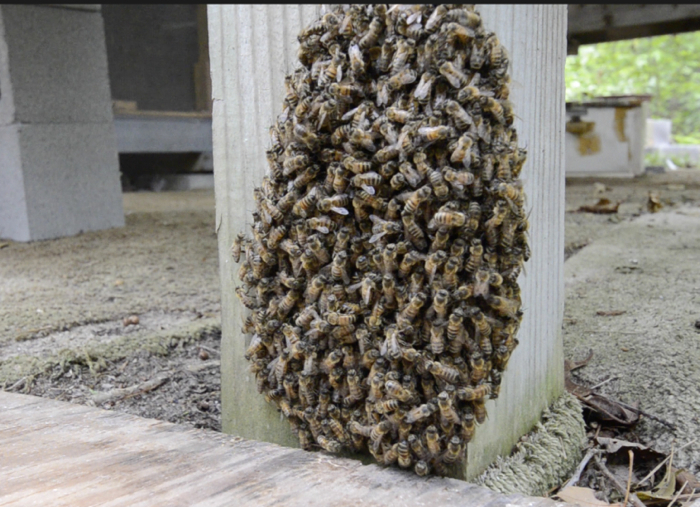 absconded swarm, evicted by adult only small hive beetles, no larvae