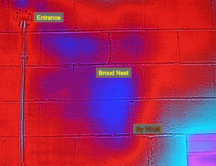 thermal image of a bee colony in a building
