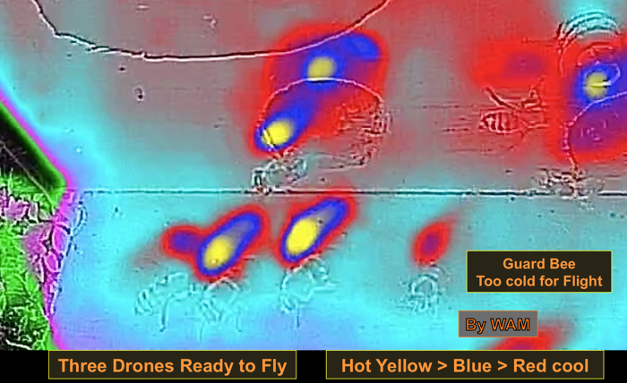 thermal image of a drone bees taking mating flights