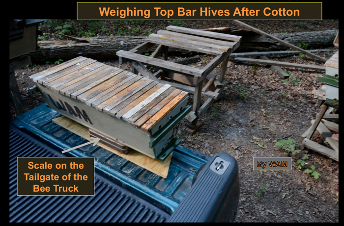 weighing top bar hives returned from cotton